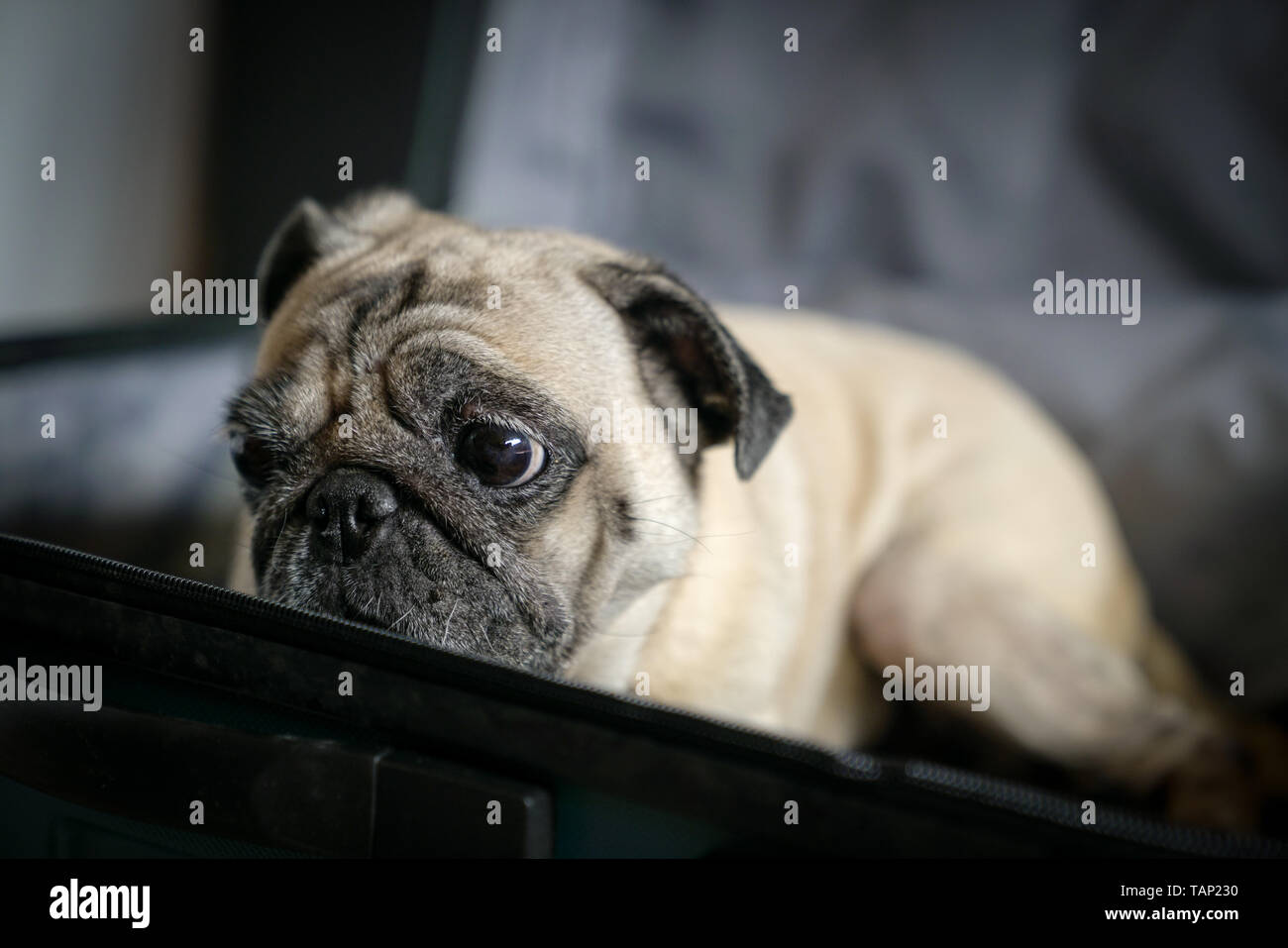 Pug dog in as suitcase  Travel or dog adoption concept Stock Photo