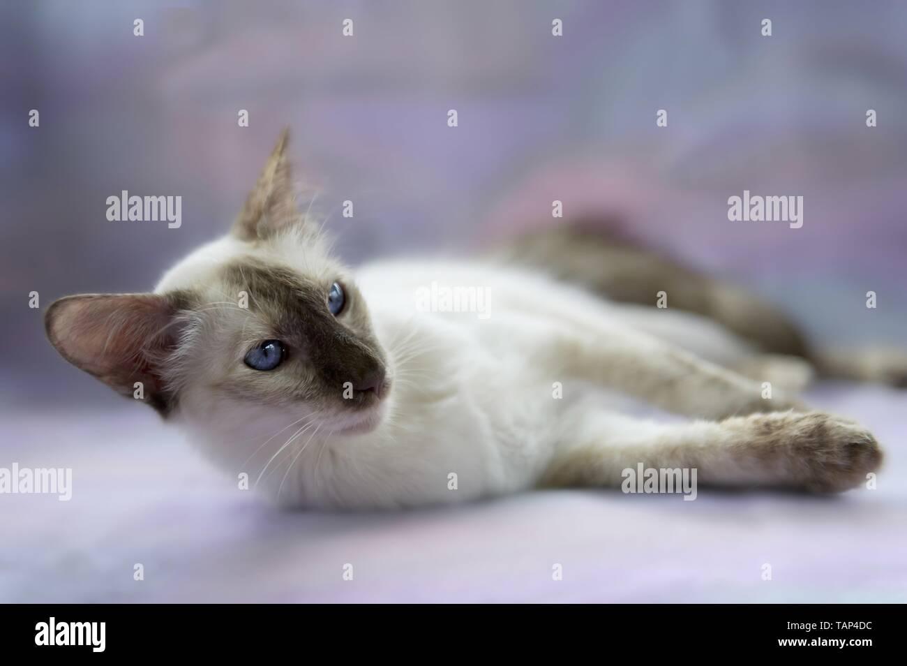 lying Balinese Cat Stock Photo
