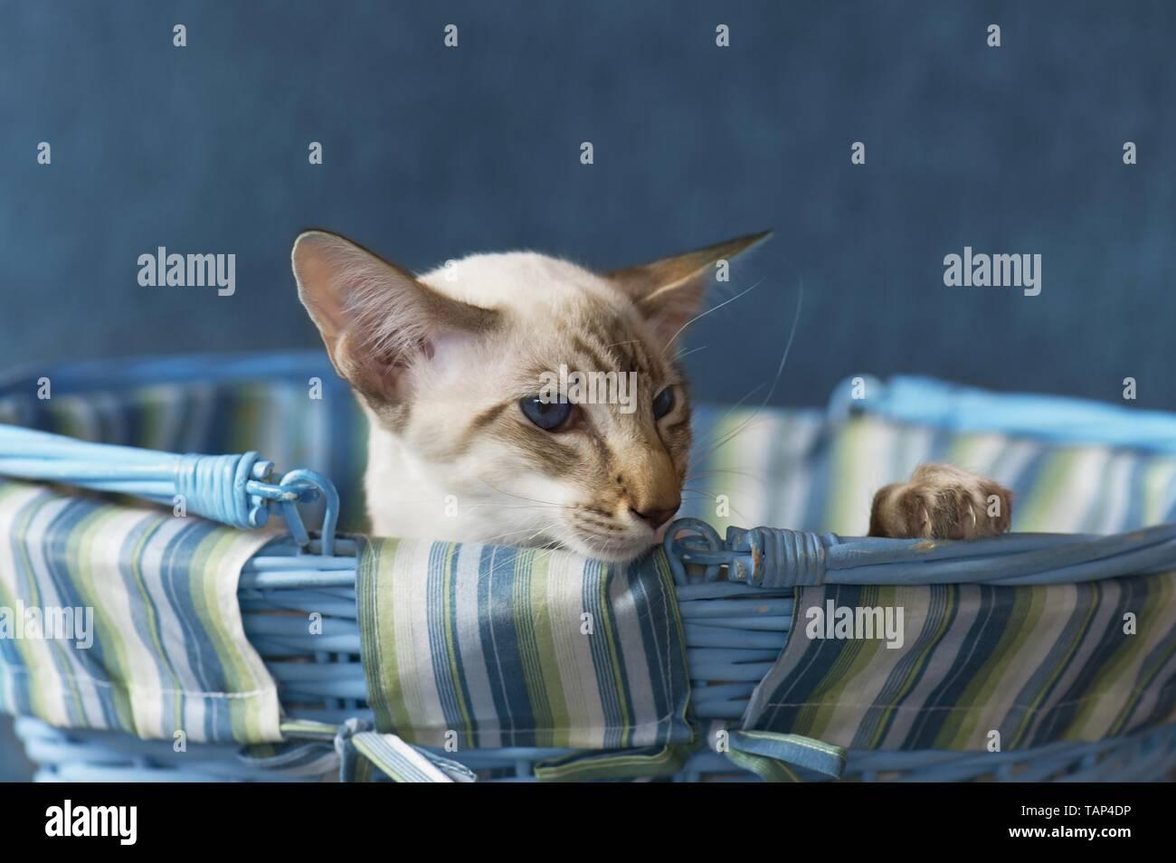 Balinese Cat Portrait Stock Photo
