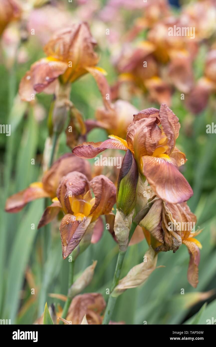 Iris 'Copper Lustre', introduced in 1938, at Schreiner's Iris Gardens in Salem, Oregon, USA. - Stock Image