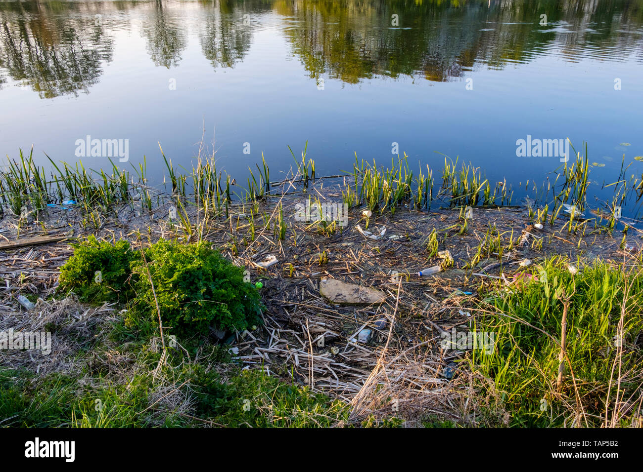 River pollution. Plastic bottles and other litter and rubbish in reeds on the riverbank, River Trent, Nottinghamshire, England, UK - Stock Image