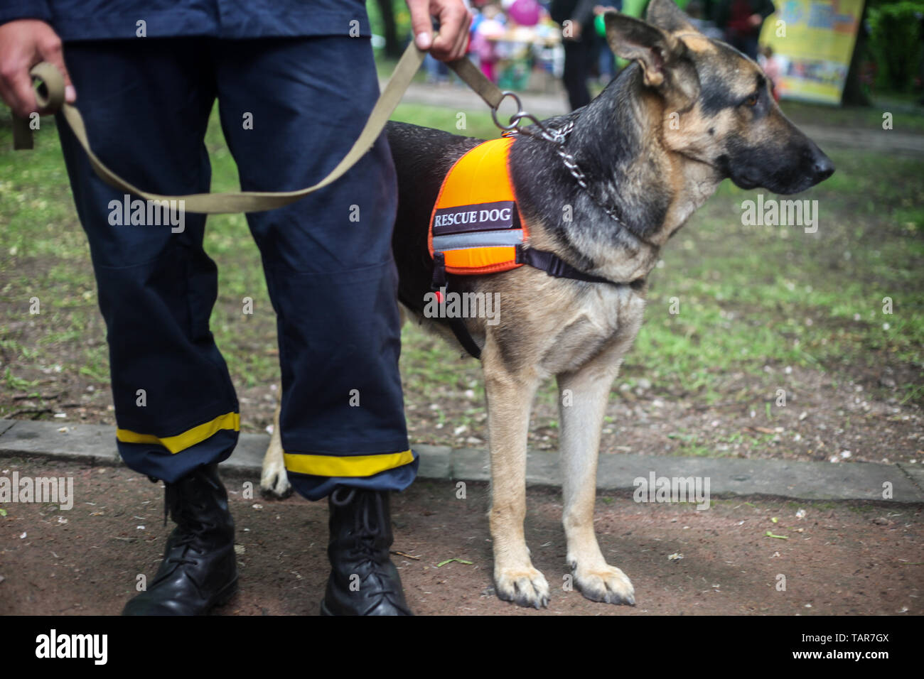 Rescue dog German Shepherd with a rescuer in the city street - Stock Image