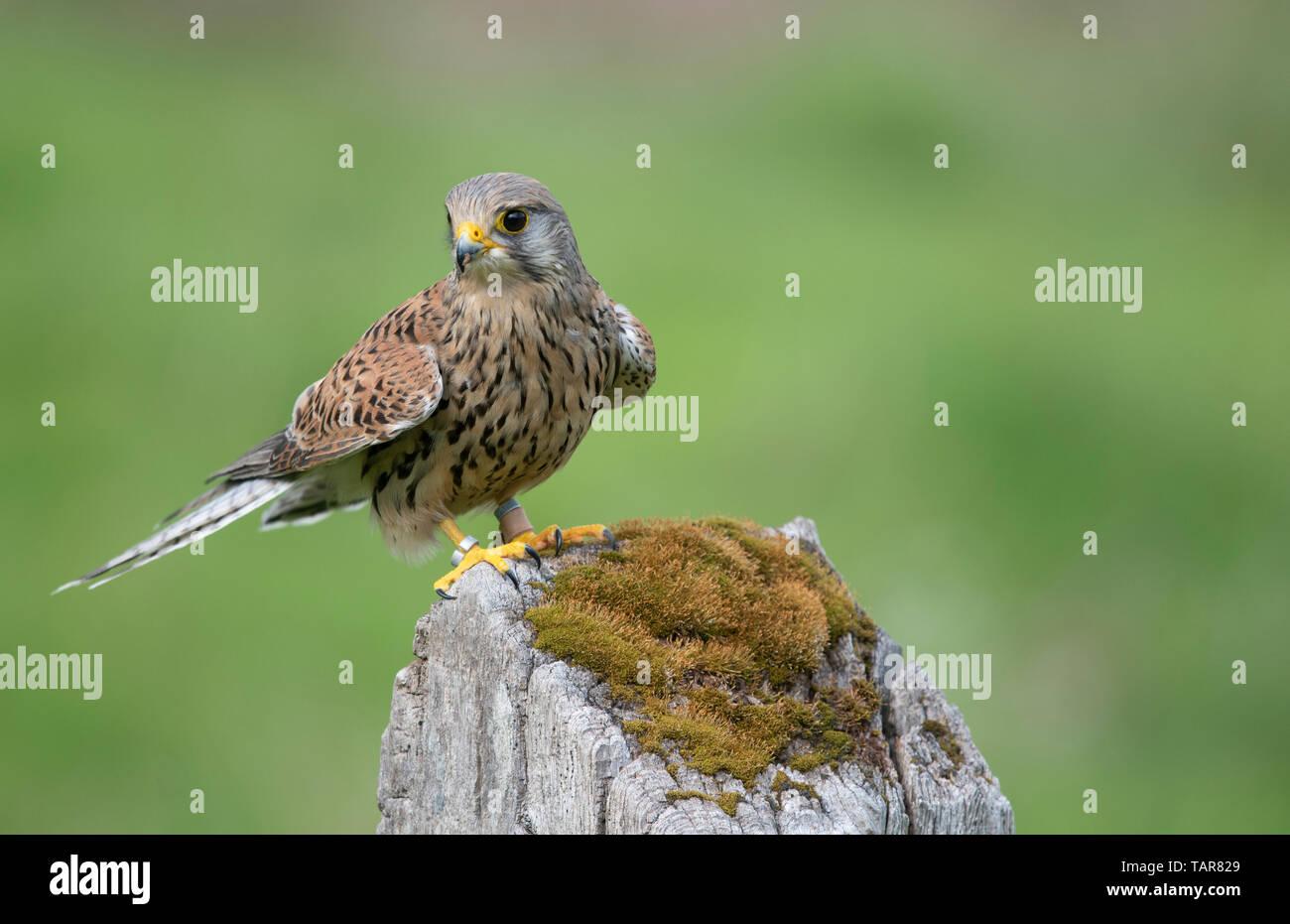 Female kestrel (Falco tinnunculus) on gatepost - Stock Image