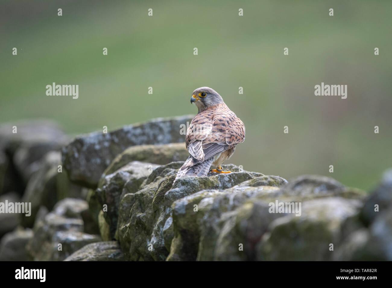 Female kestrel (Falco tinnunculus) on wall - Stock Image