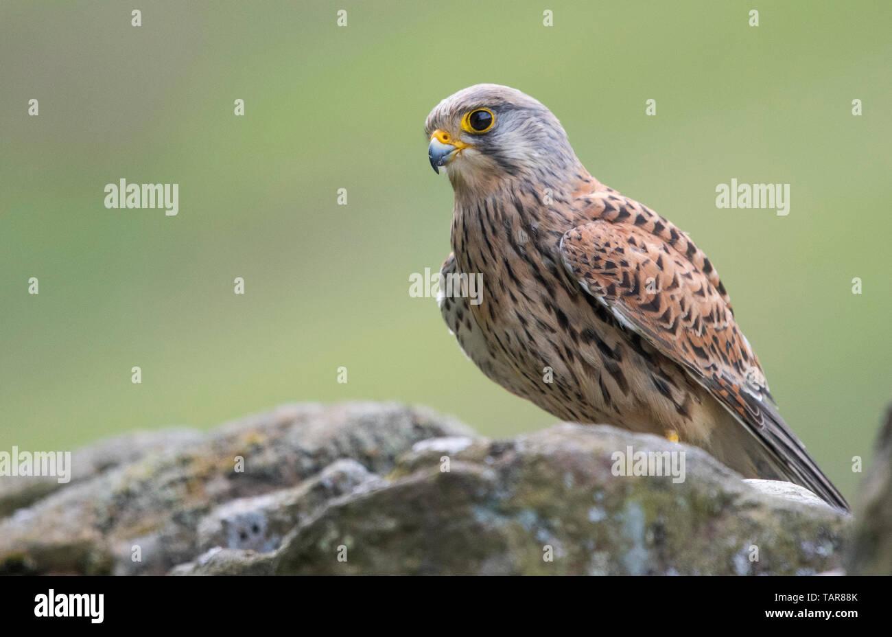 Female kestrel (Falco tinnunculus) on stone wall, United Kingdom - Stock Image