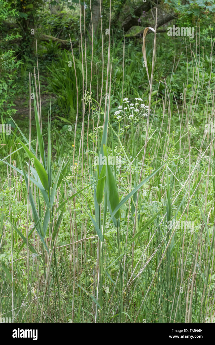 Hemlock Water-dropwort / Oenanthe crocata growing alongside some reed grasses in an area of wet ground. OC is a very toxic plant. Concept wet habitats - Stock Image