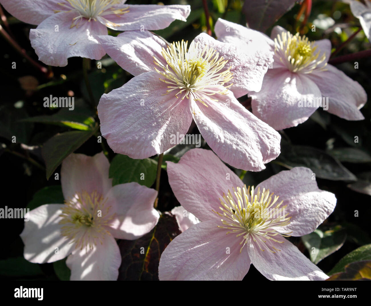 Close up Clematis Montana   'Fragrant Spring' flowers - Stock Image