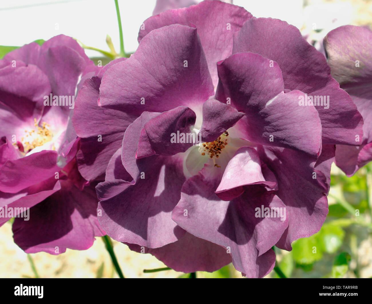 Close up of 'Rhapsody in Blue' modern Floribunda Rose - Stock Image
