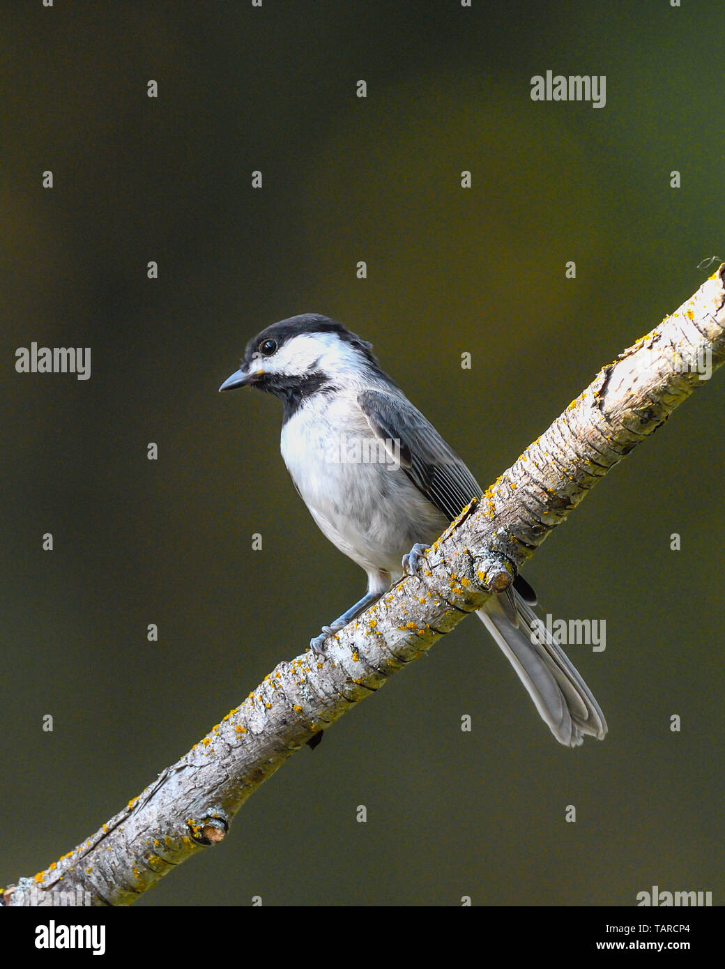 Carolina Chickadee - North American wild songbird - Stock Image