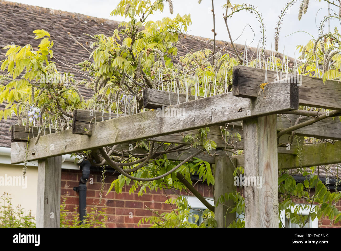 pigeon deterrent - plastic pigeon spikes along the top of pergola or arbor arbour to prevent large birds from sitting on top to reduce bird droppings - Stock Image