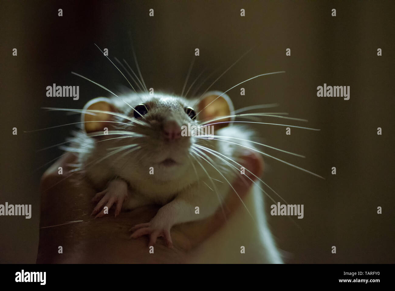 Male Rat High Resolution Stock Photography And Images Alamy