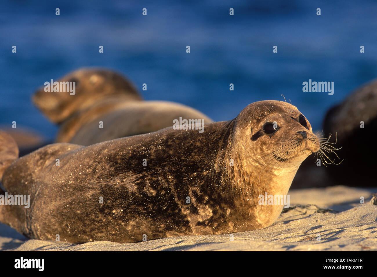 Harbor Seal - Phoca vitulina Resting on a beach, La Jolla, San Diego County, California - Stock Image