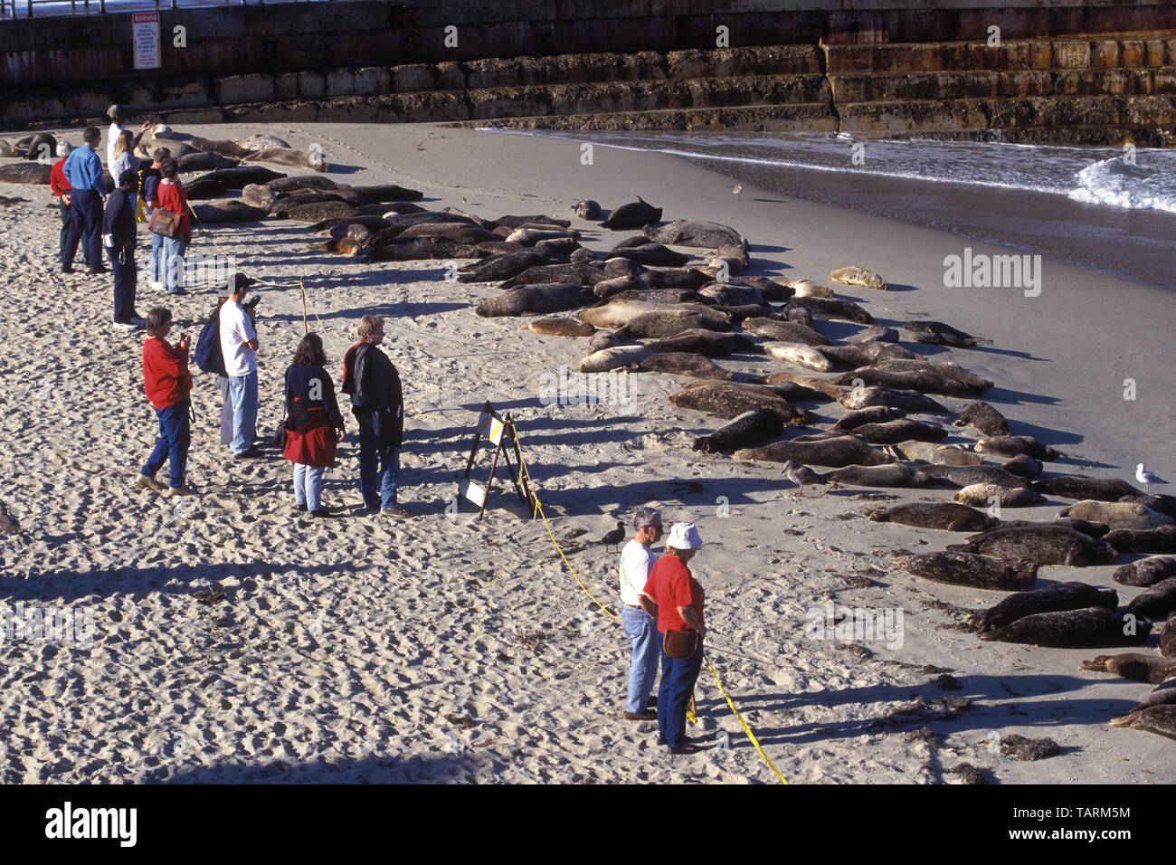 Harbor Seal - Phoca vitulina People watching seals resting on the beach, La Jolla, San Diego County, California - Stock Image