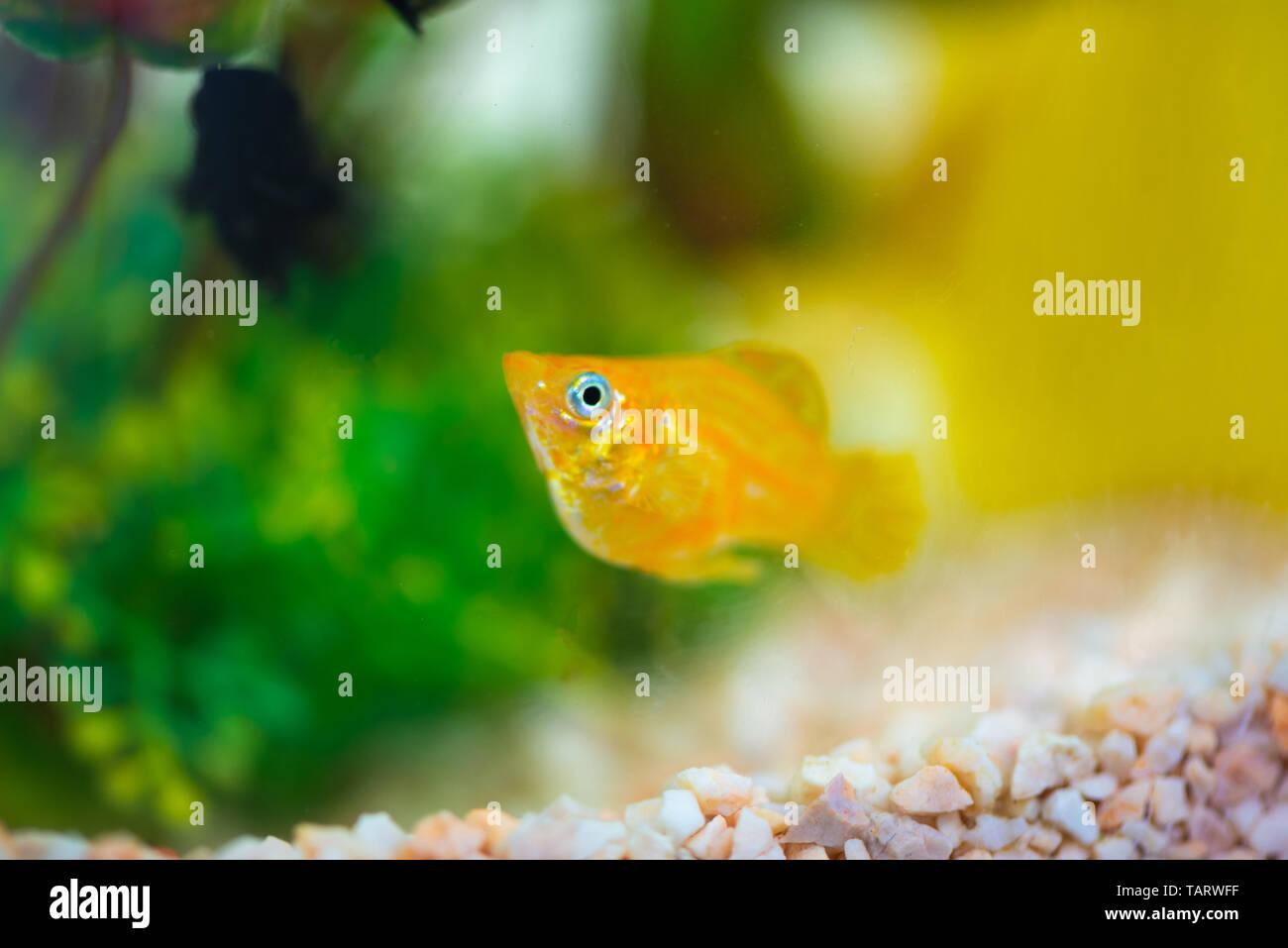 Little Molly fish, Poecilia latipinna in fish tank or aquarium, underwater life concept. Stock Photo