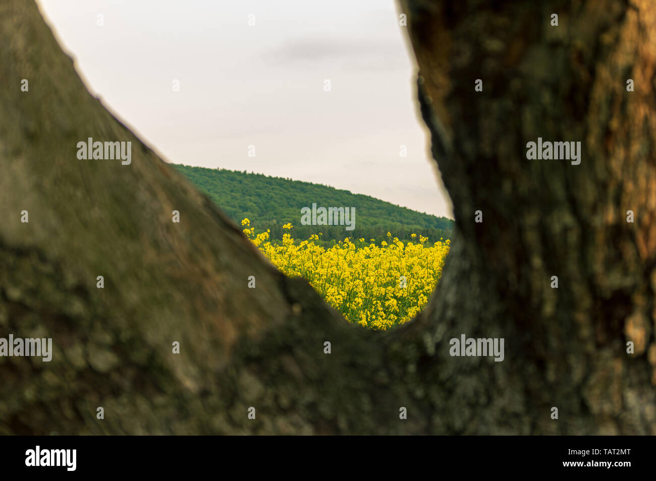seeing a field of rapeseed plants through a gap between two branches of an old apple tree - Stock Image
