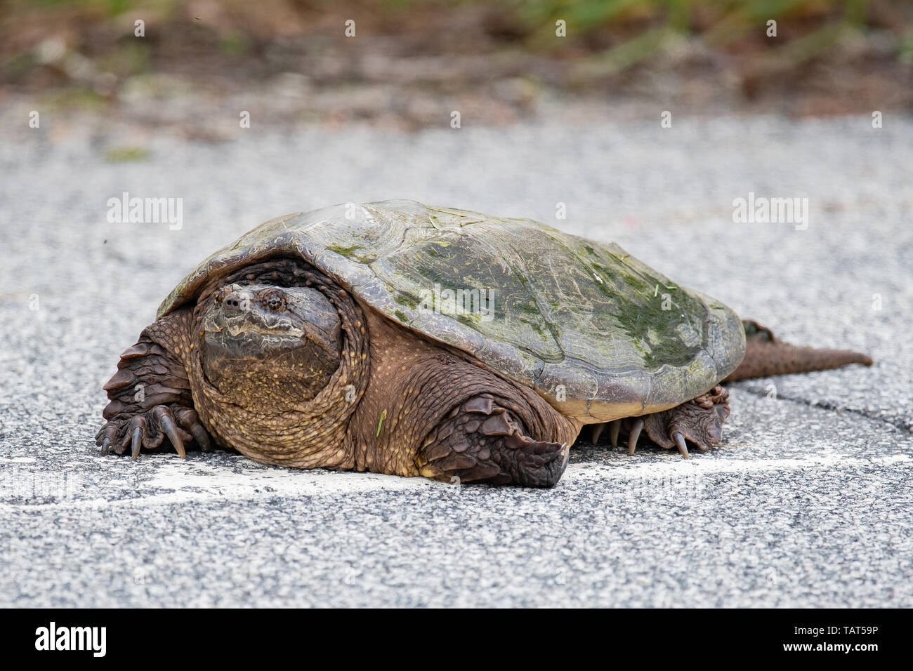 Portrait of a large common snapping turtle, Chelydra serpentina, crossing a highway in the Adirondack Mountains, NY USA Stock Photo