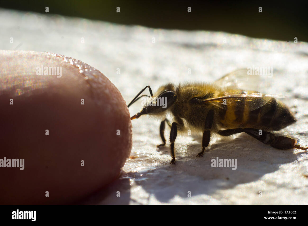 A friendly bee licking coffee a human finger. - Stock Image