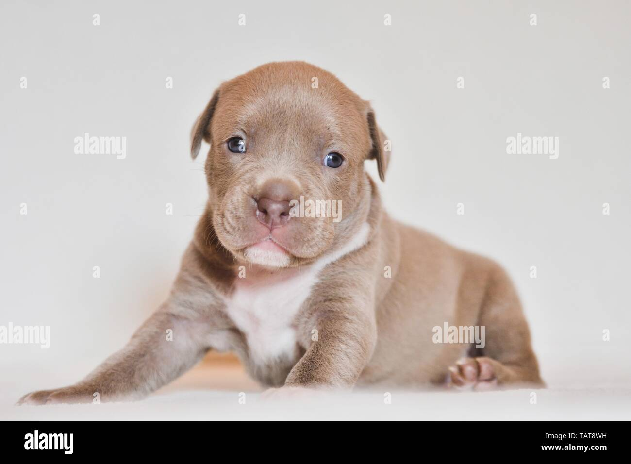 American Pit Bull Terrier Puppy - Stock Image