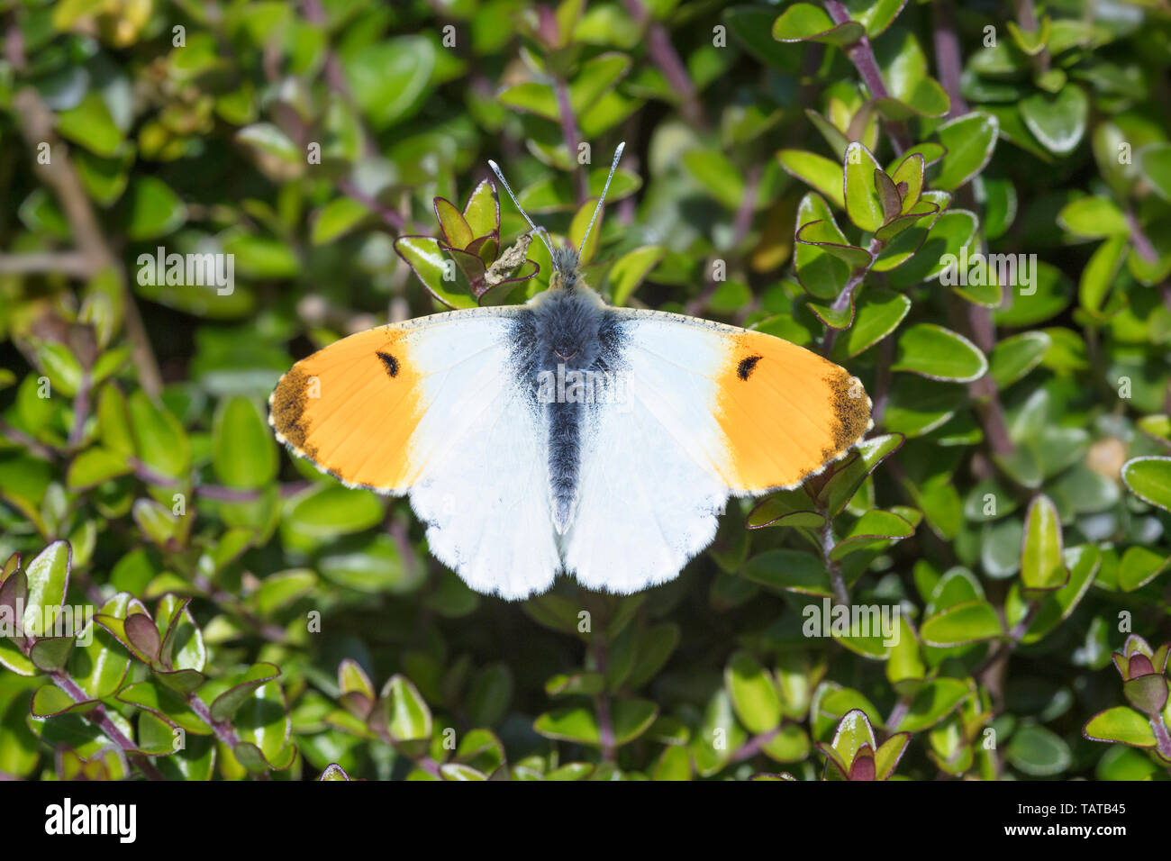 Male Orange Tip Butterfly (Anthocaris cardamines) settled with wings open - Stock Image