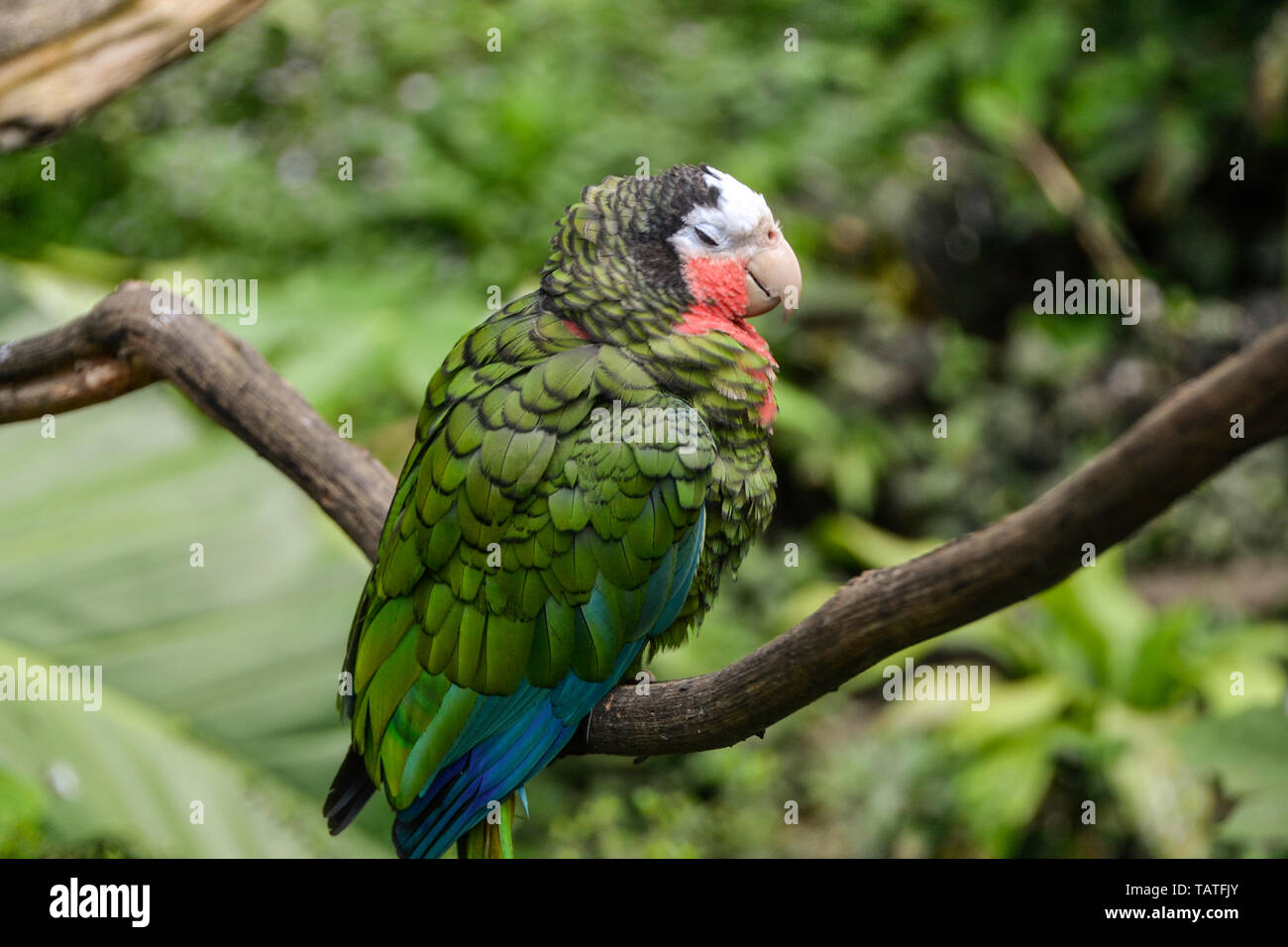 Sittacus is a genius of caribbean parrots in the subfamily Psittacinae the green parrot. The photo was taken in Zoo de Guadeloupe Karibik. - Stock Image