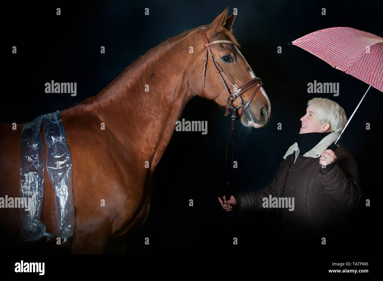 woman and Hanoverian Horse - Stock Image