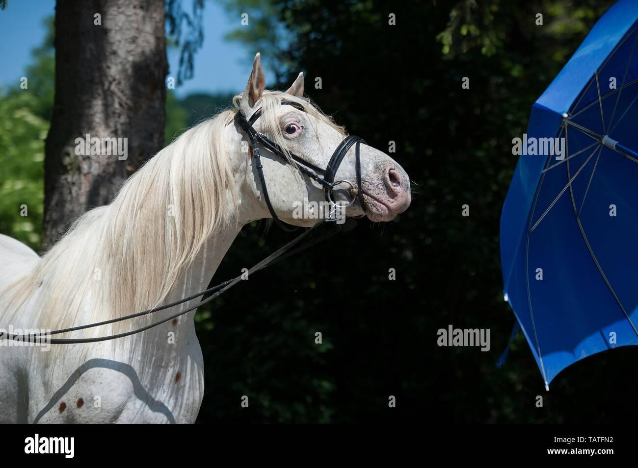 Knabstrup Horse Portrait - Stock Image