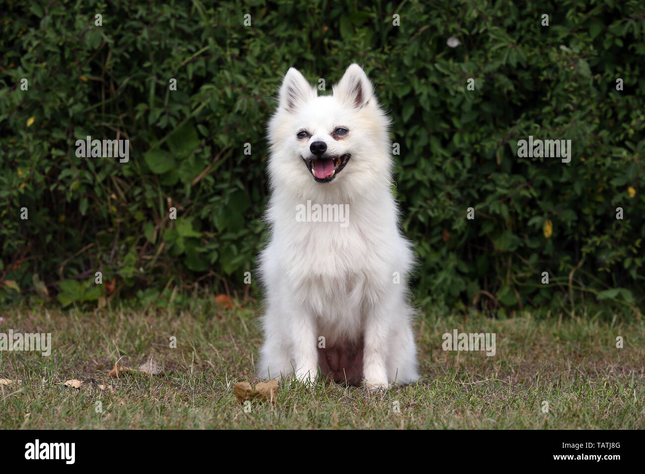 GERMAN SPITZ - Stock Image