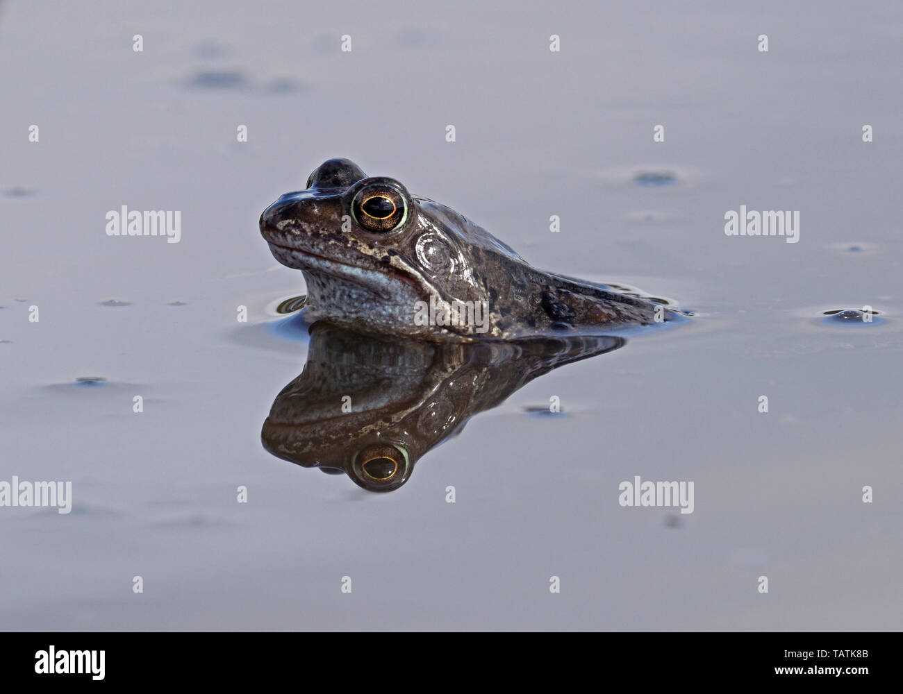 single European common frog (Rana temporaria) with reflection in muddy upland breeding pool in Cumbria, England, UK - Stock Image