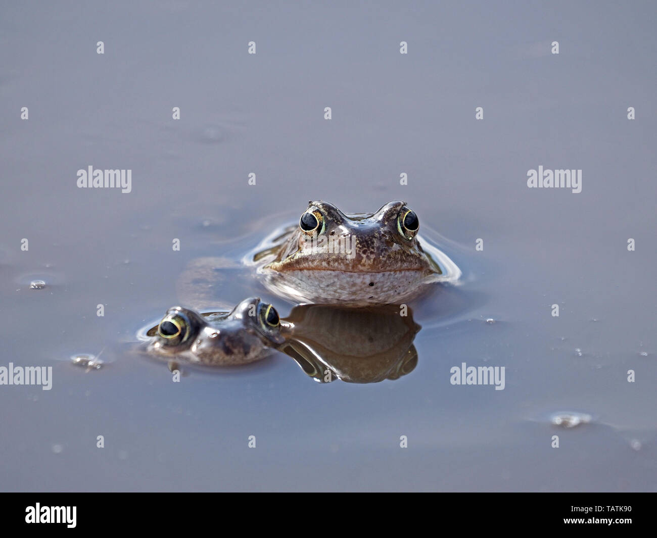 two European common frogs (Rana temporaria) with reflection in muddy upland breeding pool in Cumbria, England, UK - Stock Image