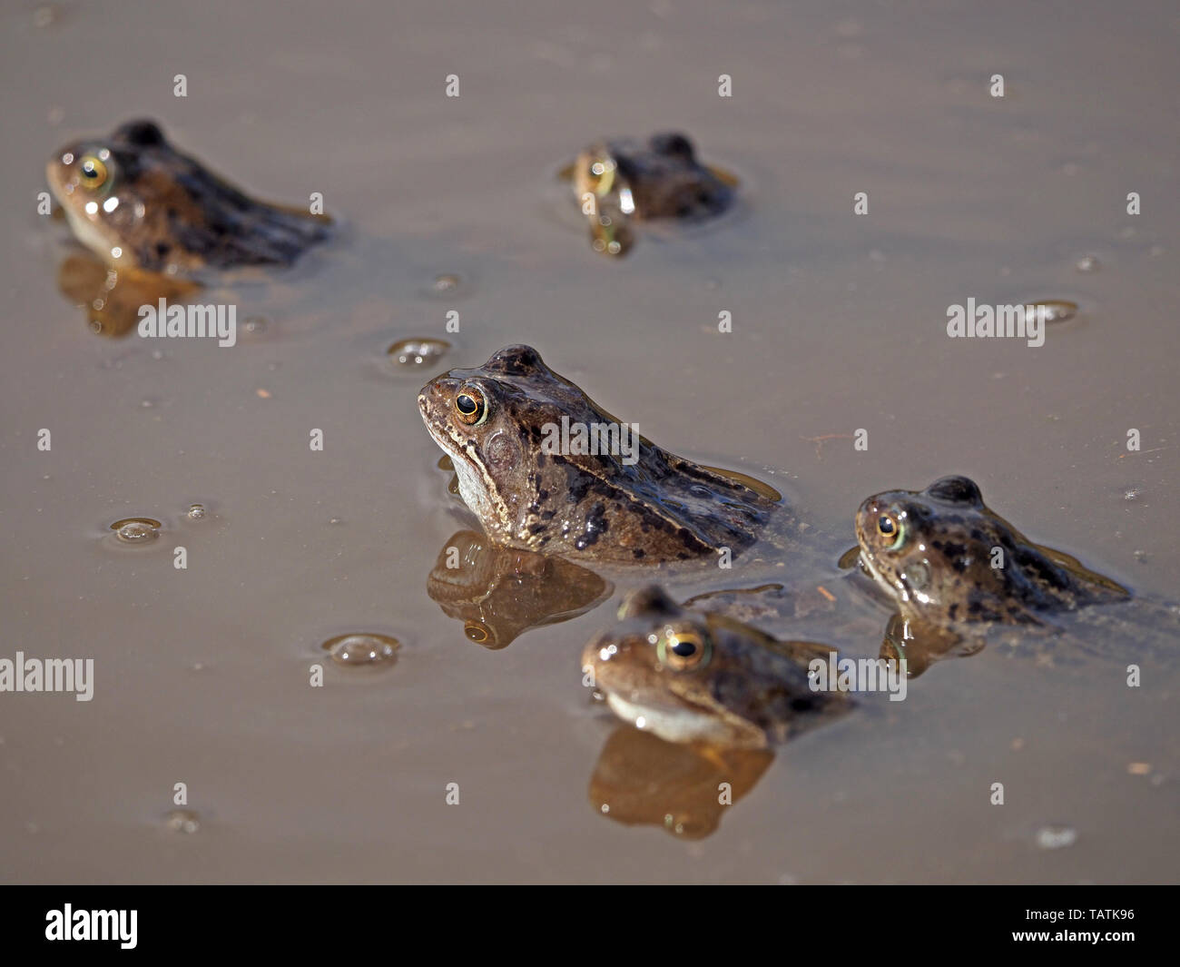 gathering of five European common frogs (Rana temporaria) with reflections in muddy upland breeding pool in Cumbria, England, UK - Stock Image