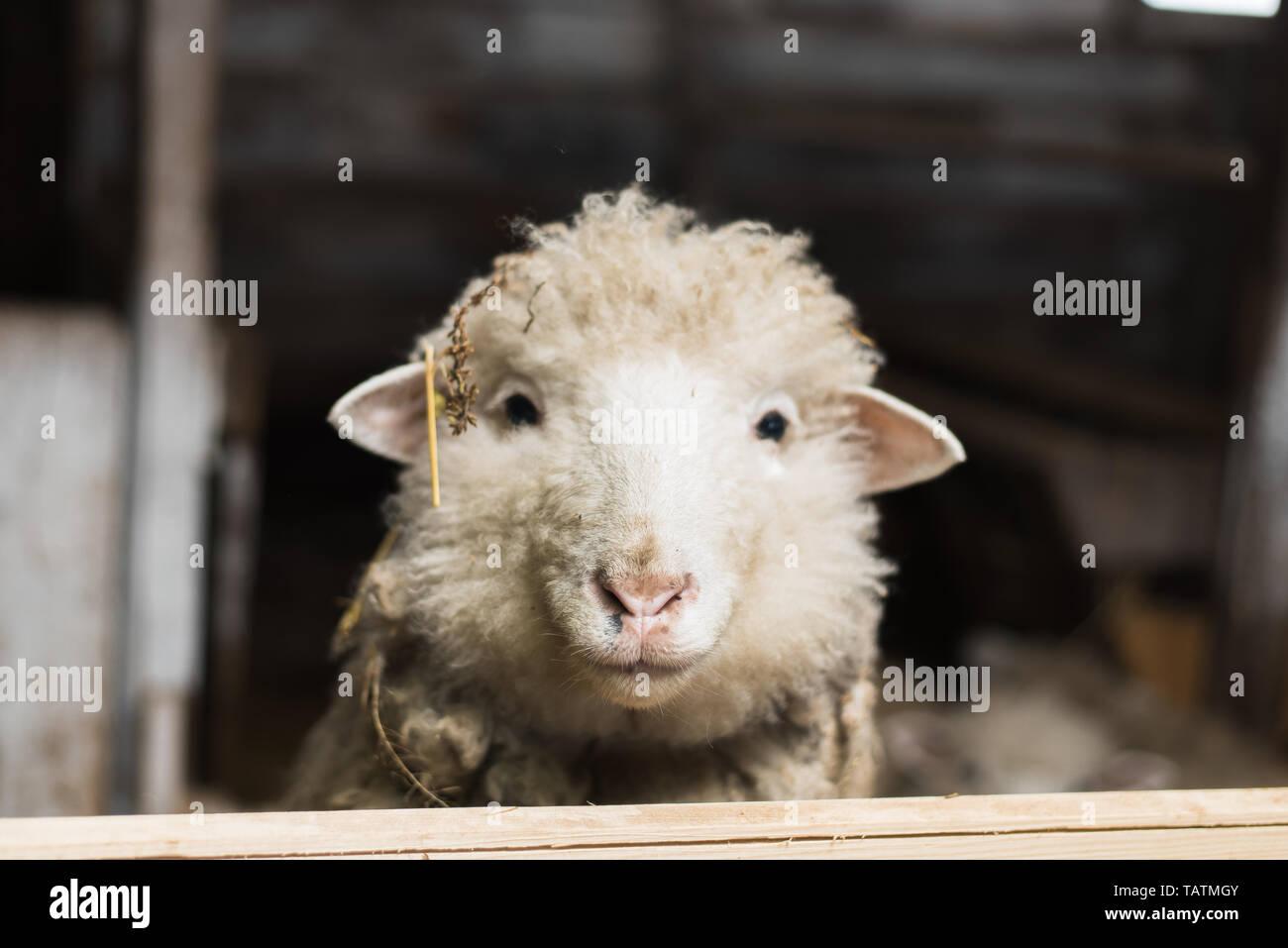A cute little lamb looks into the camera. A sheep with plenty of wool looks into the camera on the uniform Stock Photo