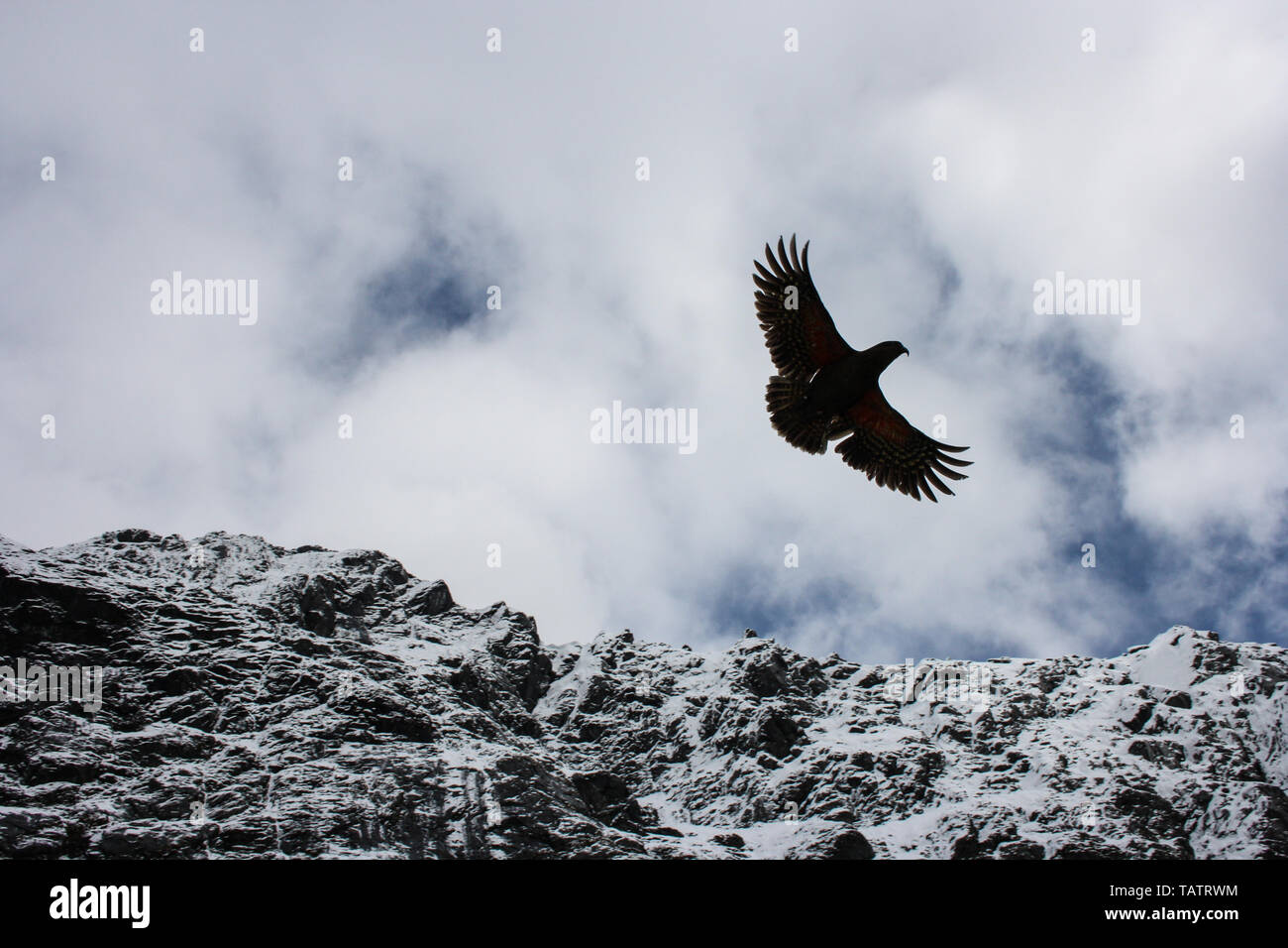 A kea parrot (Nestor Notabilis), a bird endangered of extinction, flying in front of a snow-covered mountain range on the South Island, New Zealand - Stock Image