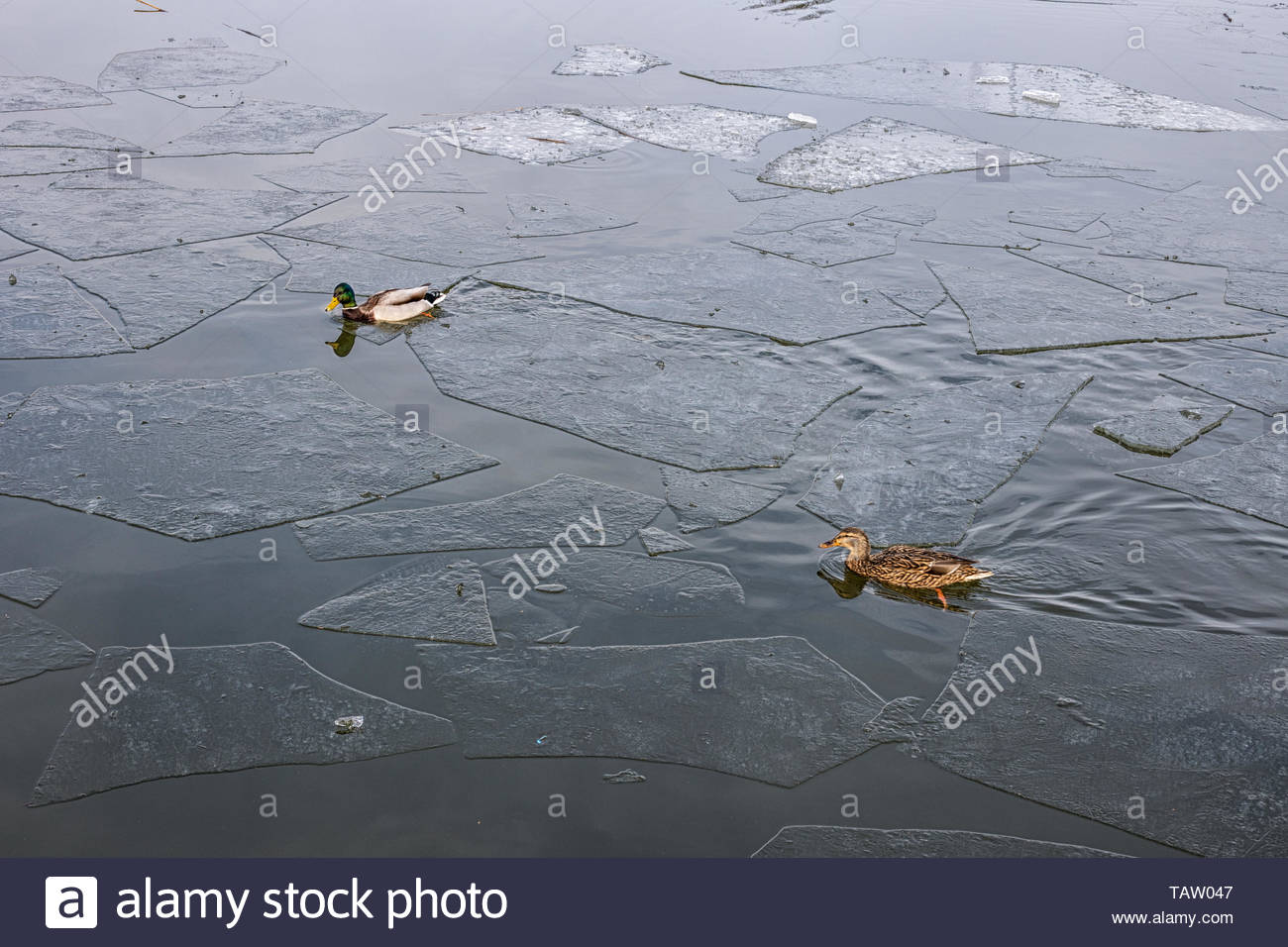River Ryck frozen with ducks - Stock Image