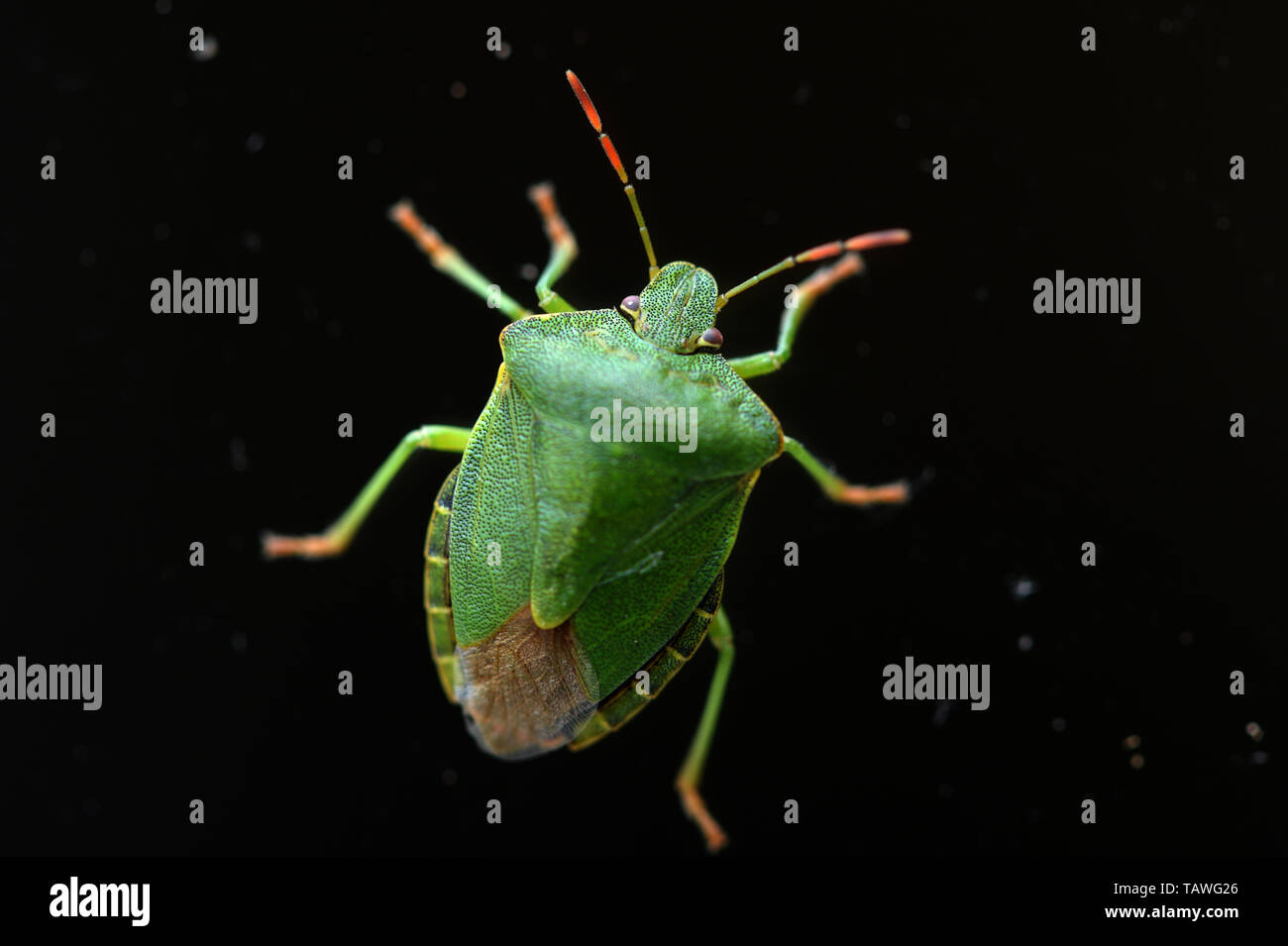 Green Shield Bug in close up showing protective hard wing plates. Stink glands are found on the underside. - Stock Image