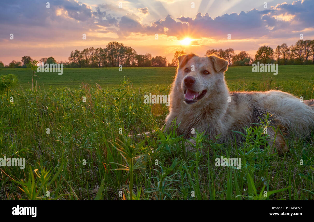 The dog lies on the green grass of the lawn at sunset and squints and grins. Portrait of a dog with a smile at sunset - Stock Image
