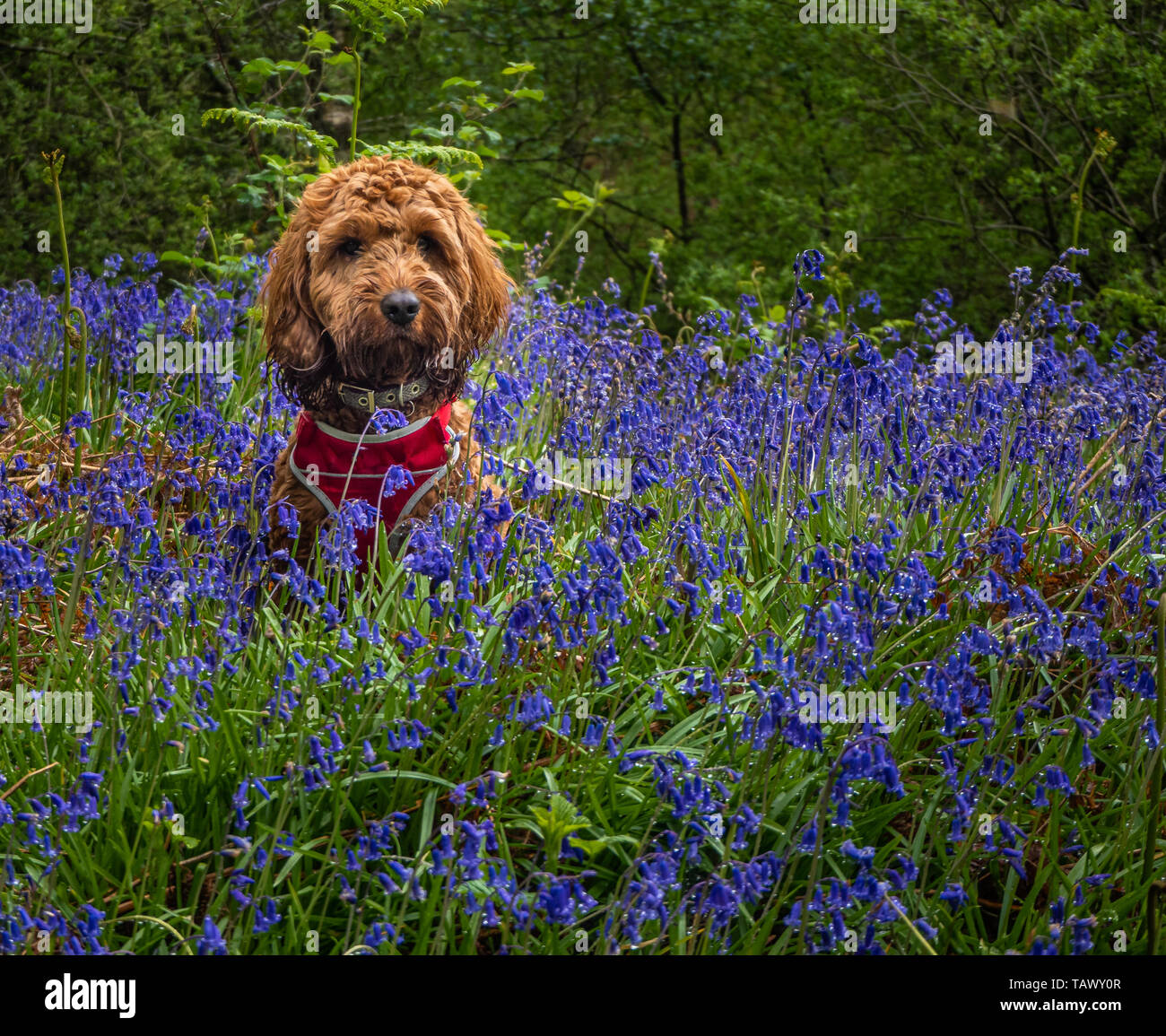 Red Cockapoo sitting amongst the bluebells in a wood - Stock Image