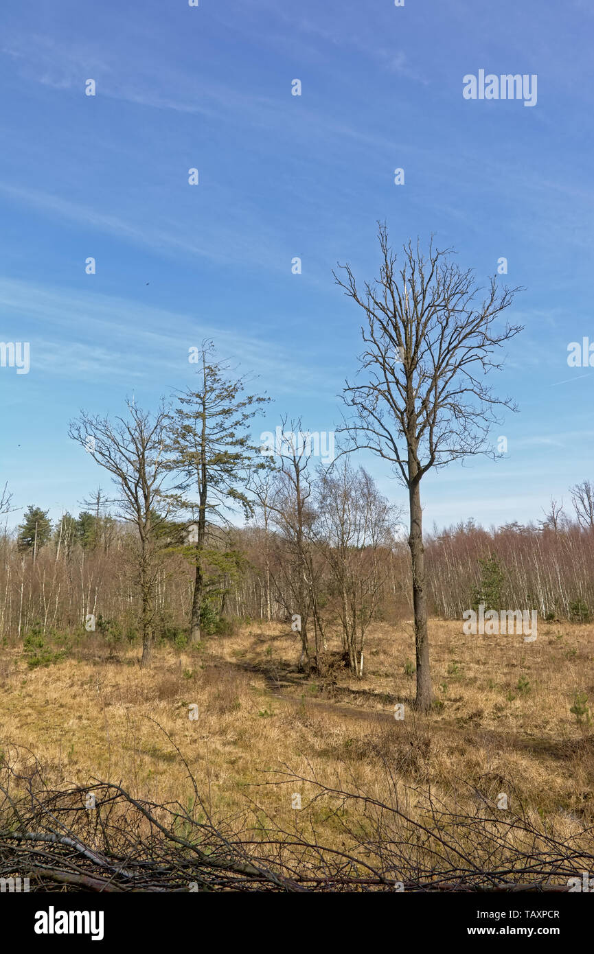 Sunny heath landscape with bare and spruce trees. - Stock Image