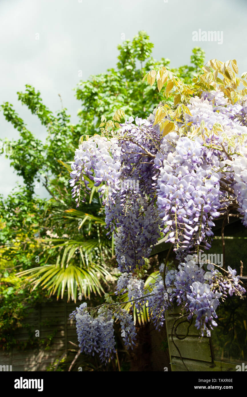 Flowering wisteria in a London Garden with dark skies - Stock Image