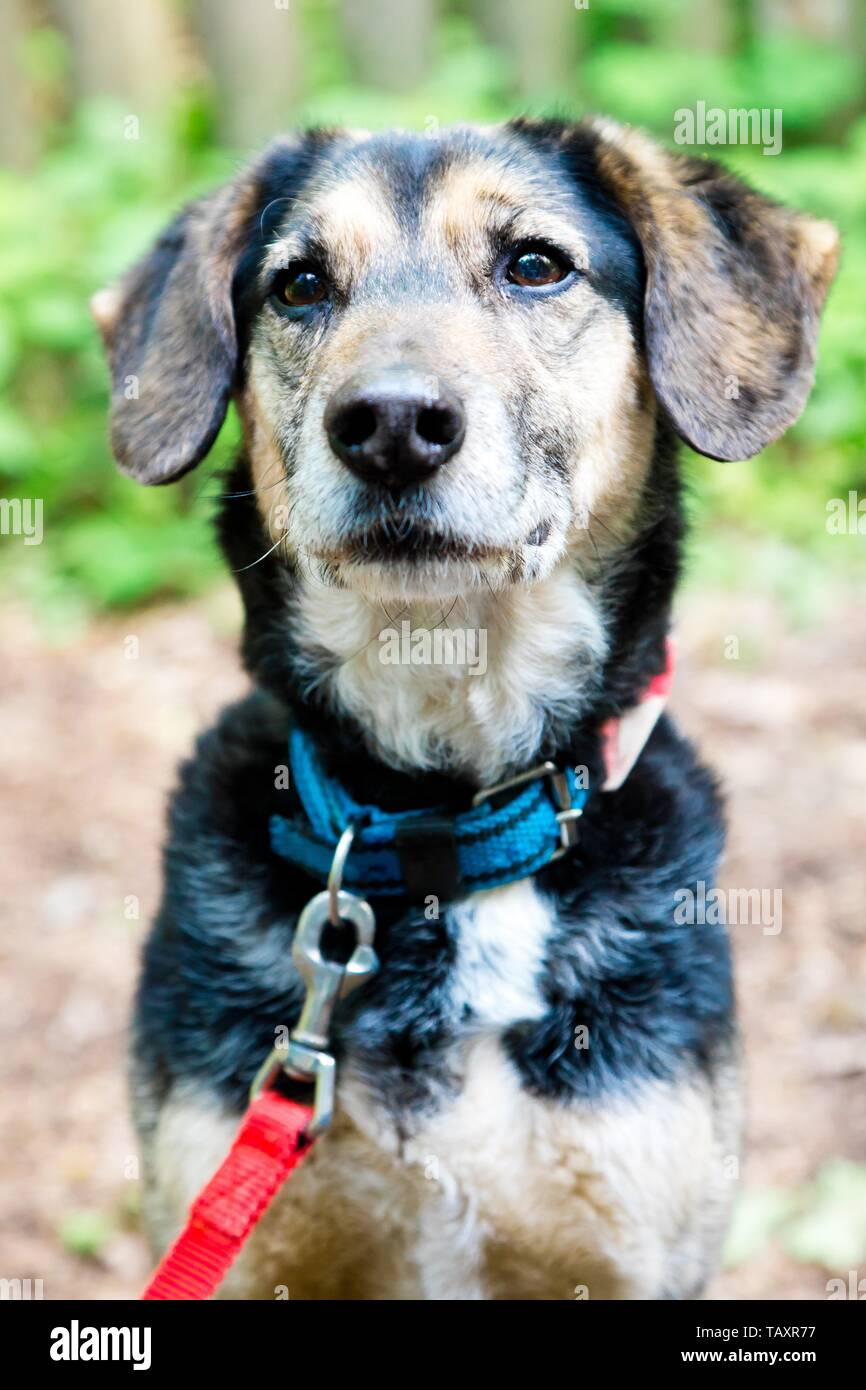 Lovely mixed breed dog with scarf and red leash on walk - Stock Image
