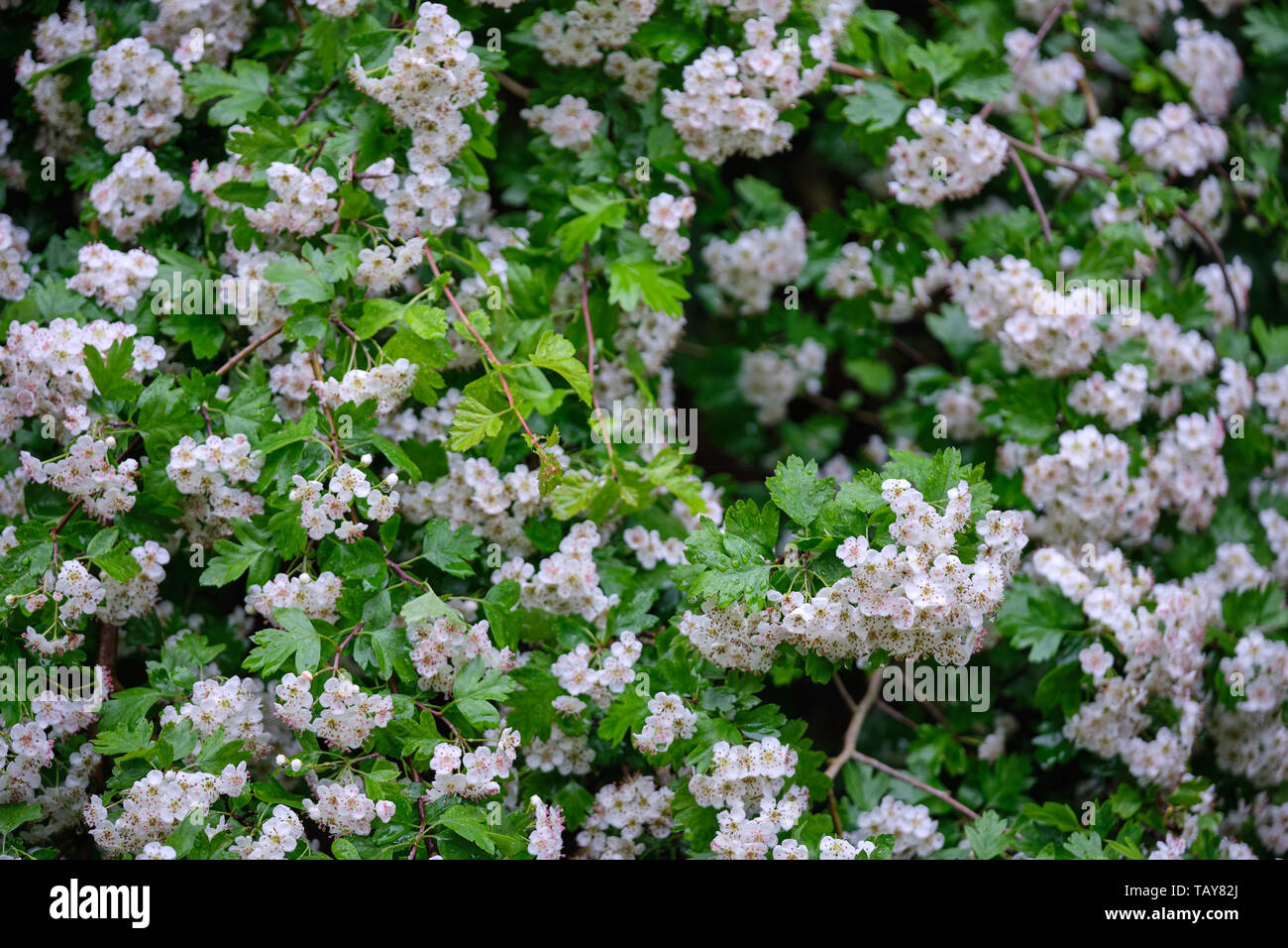 Closeup of a beautiful white flowering hawthorn tree in the forest with green springtime leaves - Stock Image
