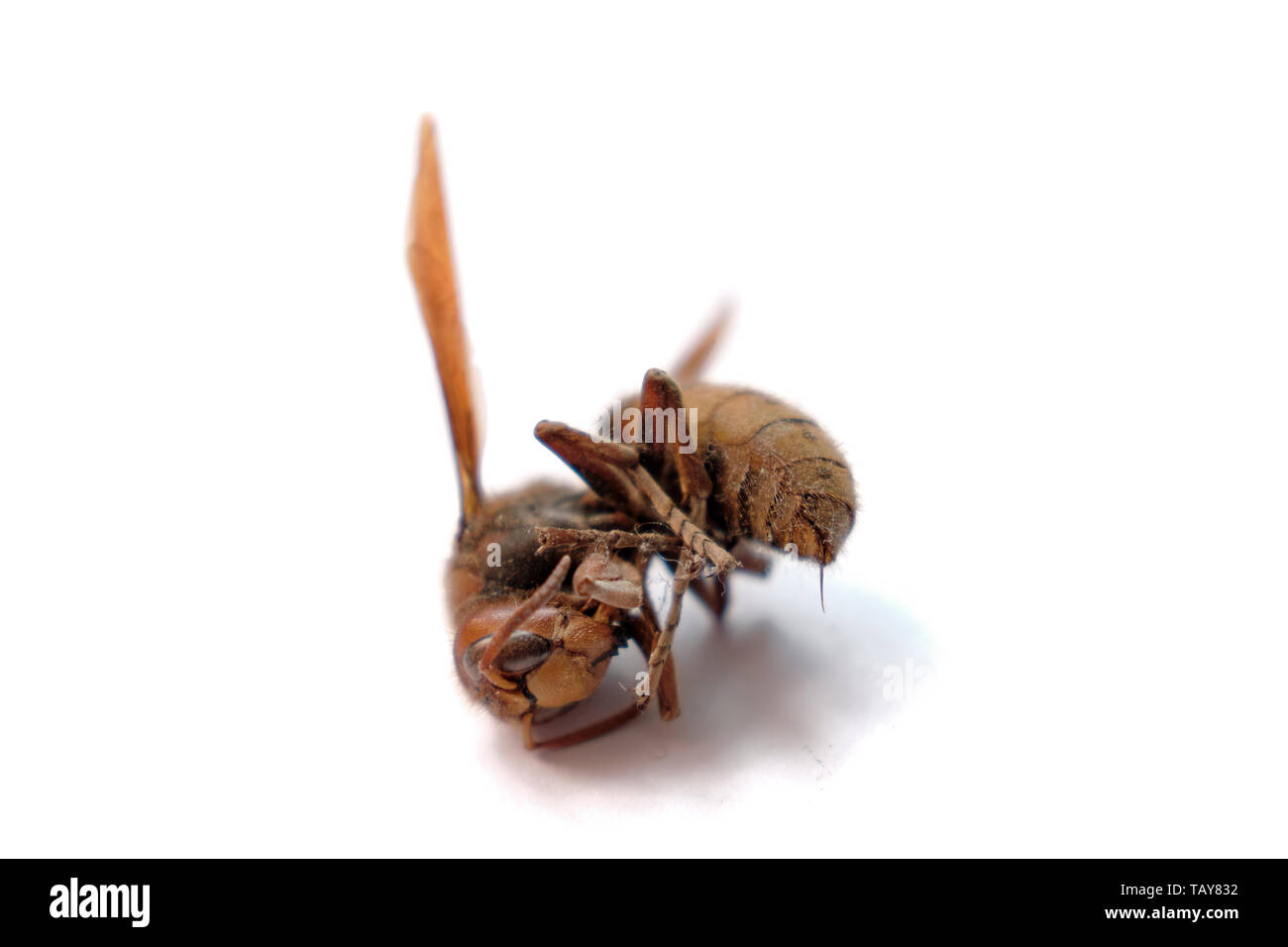 A dried out hornet on a white background. Stinger is visible - Stock Image