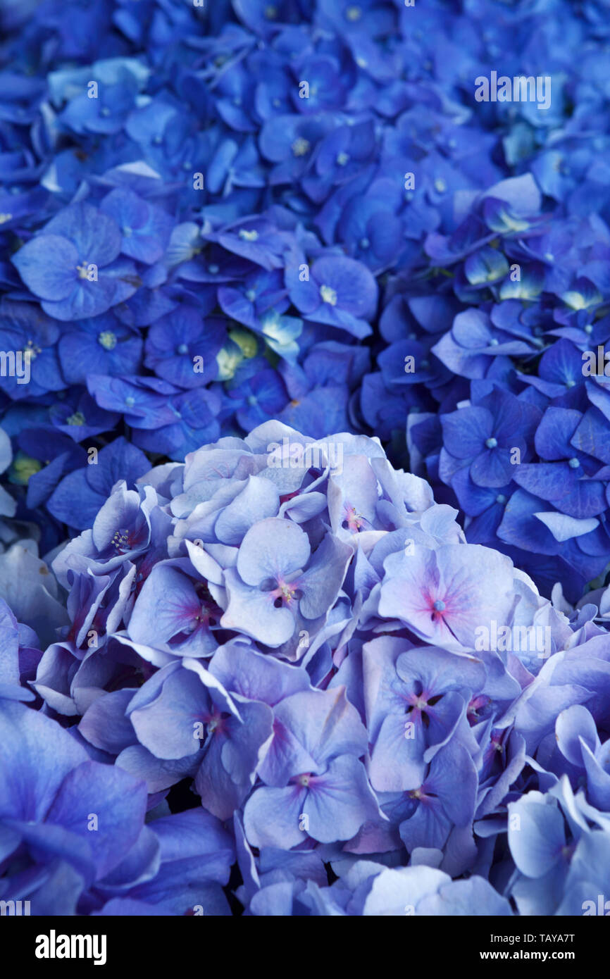 Blue hydrangeas, background, copy space - Stock Image