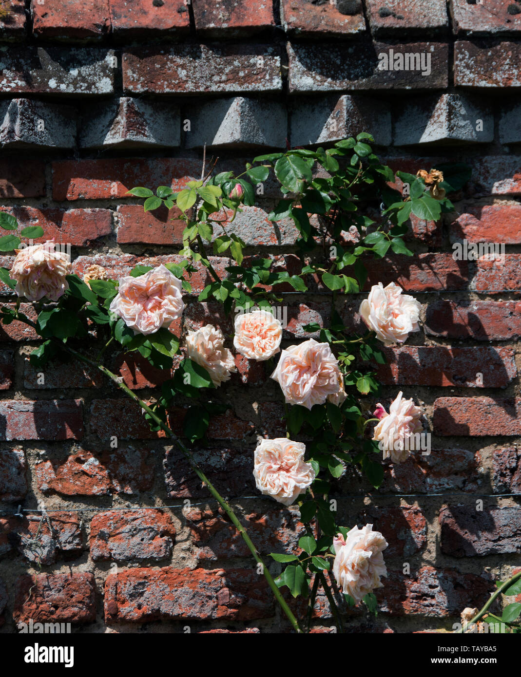 Rosa 'Shropshire Lad' has large, perfectly formed, slightly cupped, light peach-pink rosettes, with a lovely fruity Tea fragrance. A vigorous climber  - Stock Image