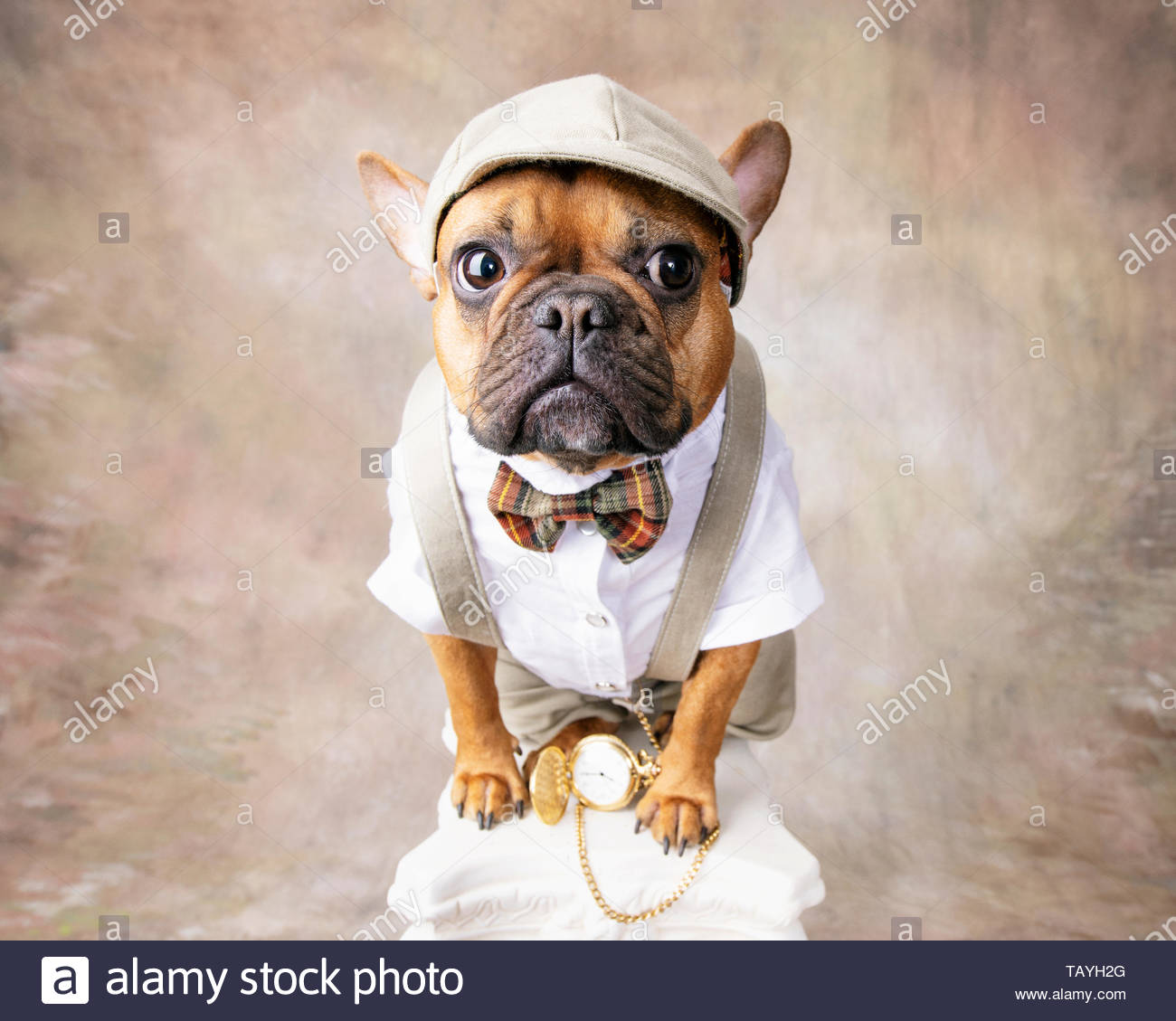 Red fawn french bulldog dressed in knickers, suspenders, bowtie, cap and pocket watch on white pedestal with swirly tan and white backdrop. - Stock Image