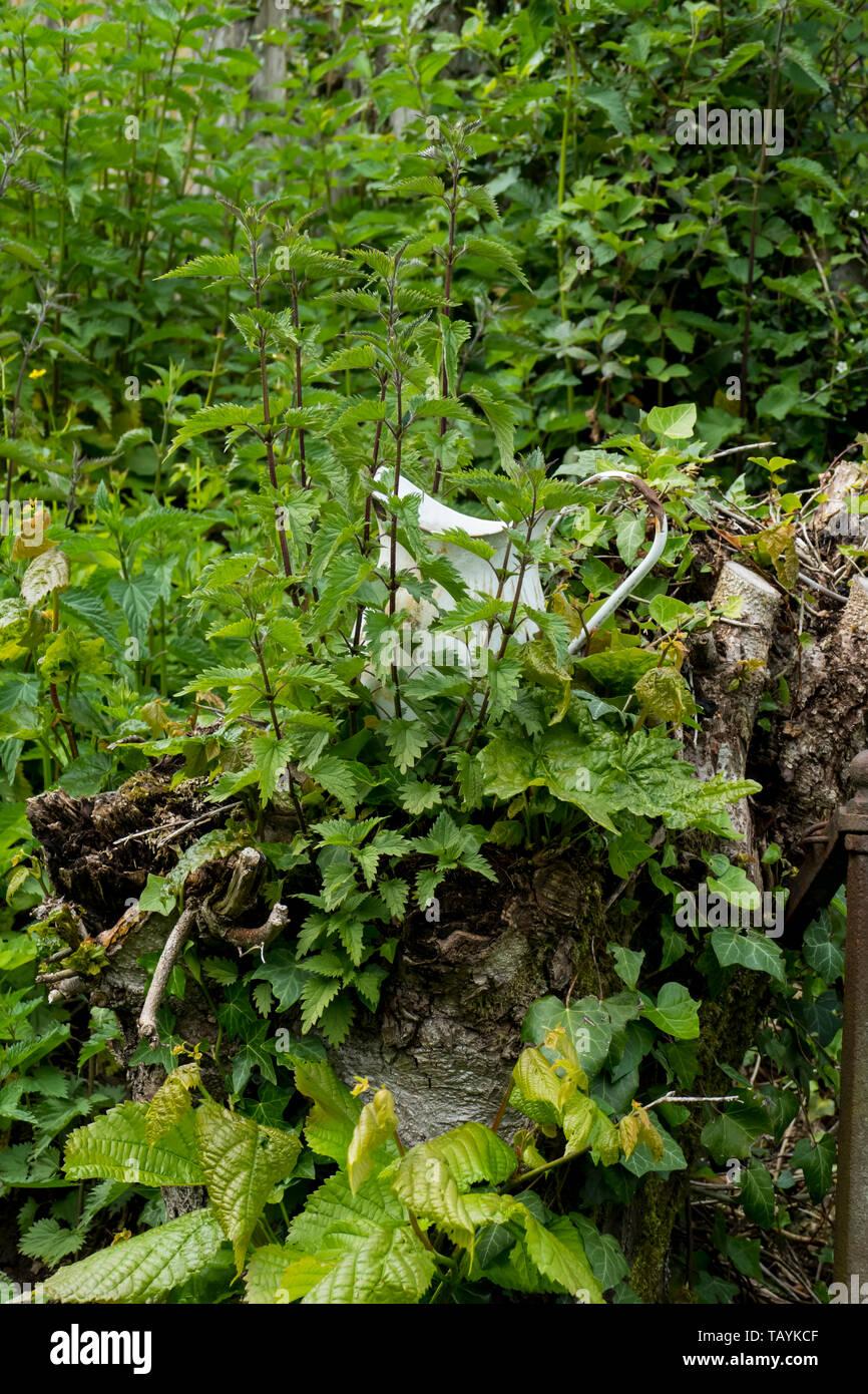 Ein alter Krug , Kanne aus email von Brennesseln überwuchert, bewachsen Stock Photo