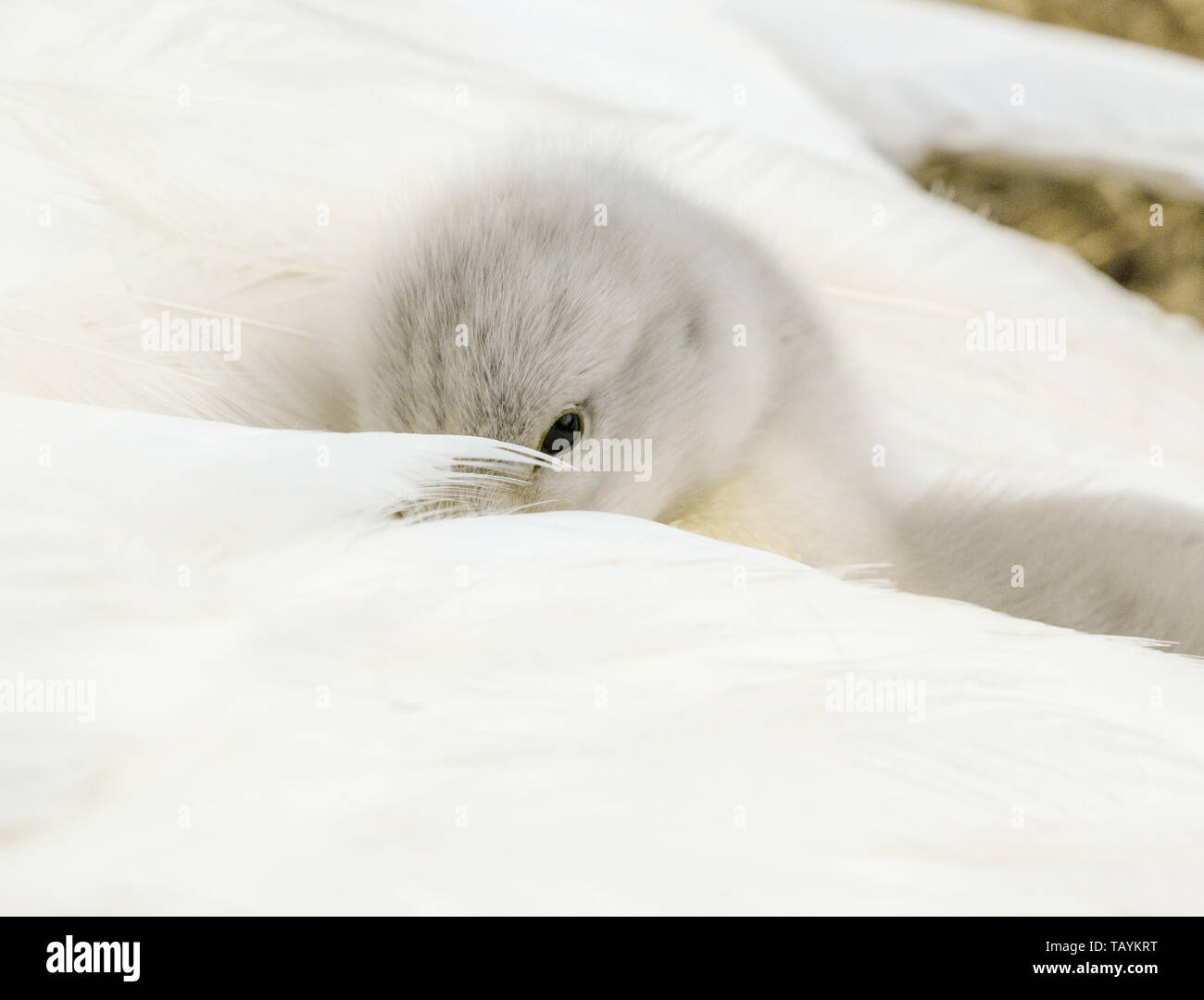 A mute swan cygnet buried in it's mother's tail feathers. Stock Photo