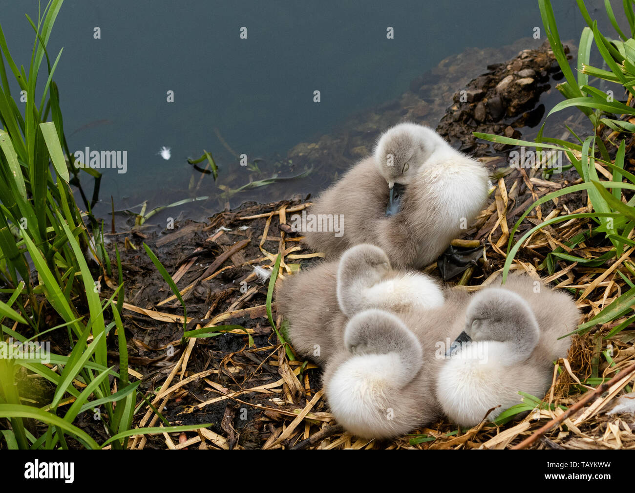 Mute swan cygnets asleep on a nest. Stock Photo