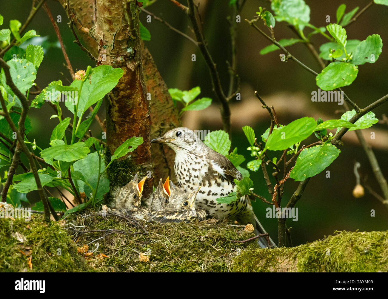 Adult Mistle thrush on a nest with fledglings. - Stock Image