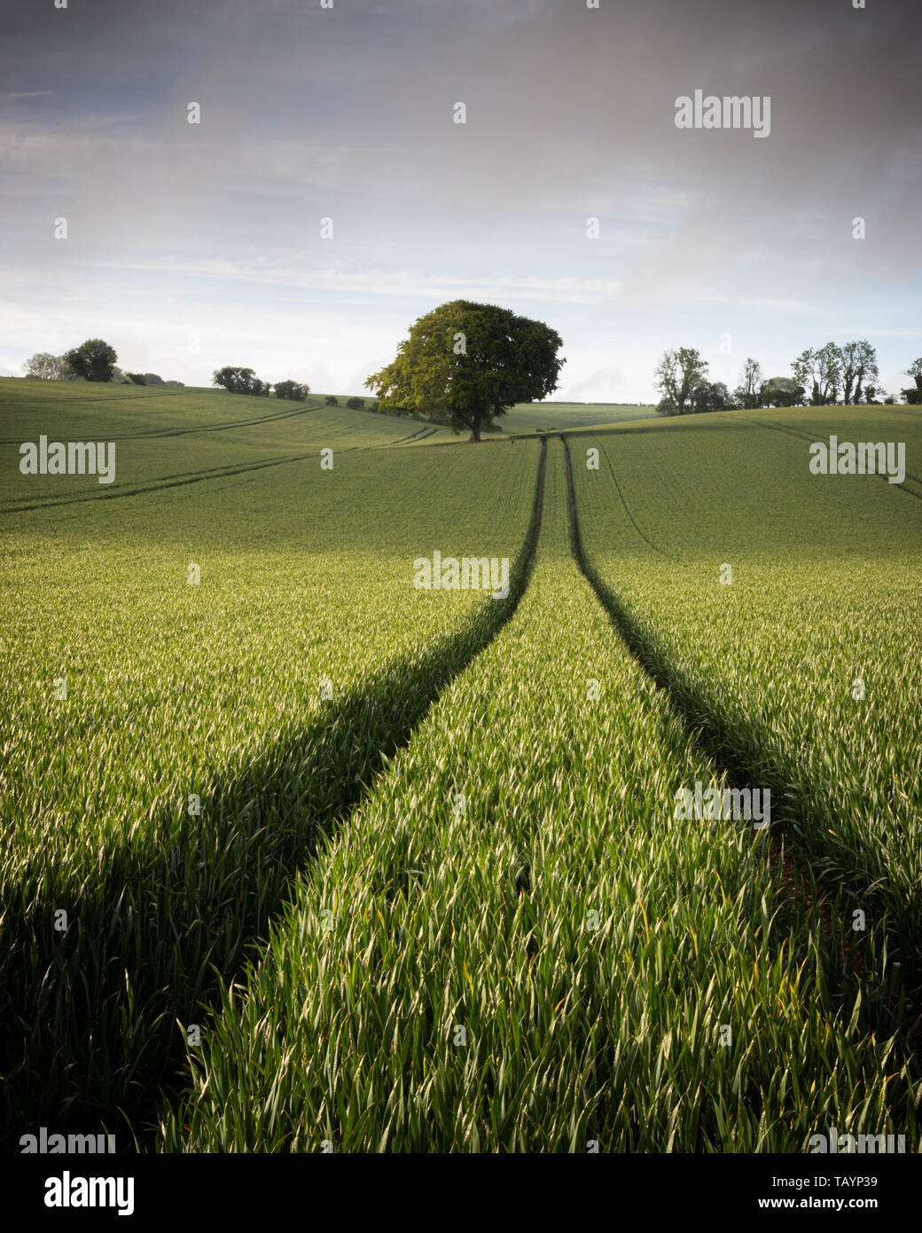 A lone tree in a green wheat field Stock Photo