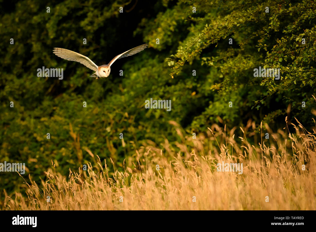 Barn Owl (Tyto alba) lit by evening sunlight in hunting habitat, flying low over rough grassland, wings spread - Baildon, West Yorkshire, England, UK. Stock Photo
